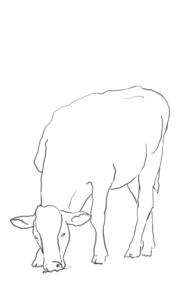 עוד פרה